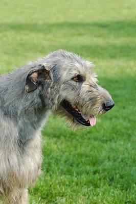 Irish Wolfhound Photograph - Irish Wolfhound Portrait by Waldek Dabrowski