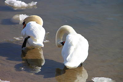 Photograph -  Irondequoit Bay Swans by Gerald Salamone
