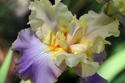 Irresistible Iris Art Print by Donna Kennedy