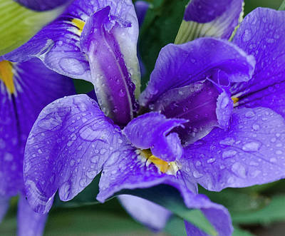 Photograph - Irresistible Purple Iris by Venetia Featherstone-Witty