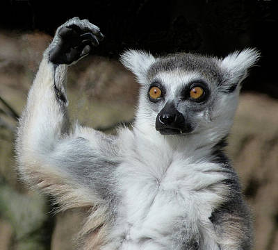 Photograph - Is It Really That High - Ring-tailed Lemur by Margaret Saheed