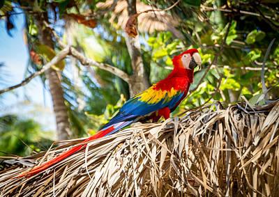 Puravida Photograph - Isla Tortuga Macaw by Shannon Kunkle