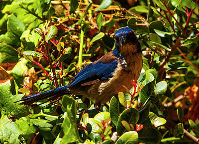 Photograph - Island Jay by Jeff Kurtz