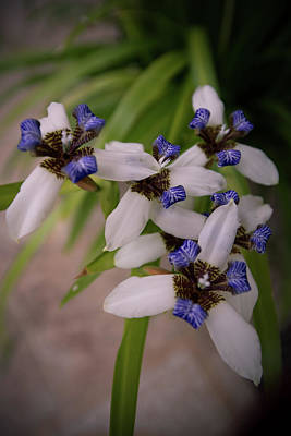 Photograph - Island Lilies by Debra and Dave Vanderlaan