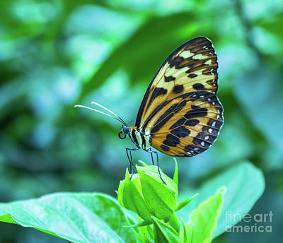 Photograph - Ismenius Butterfly by Steven Parker
