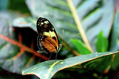 Ismenius Tiger Butterfly-2 Art Print
