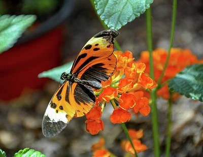 Ismenius Tiger Butterfly Art Print
