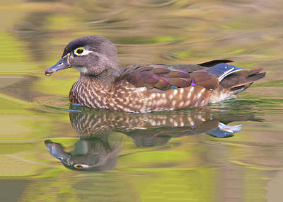 Photograph - Isn't She Lovely - Female Wood Duck by Ram Vasudev