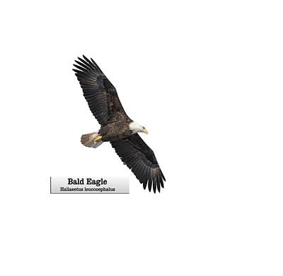 Photograph - Isolated Bald Eagle 2018-1 by Thomas Young
