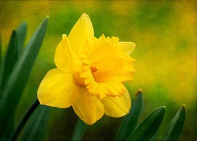 Photograph - Isolated Daffodil by Carolyn Derstine