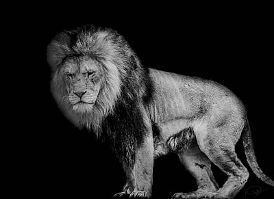 Lion Photograph - Isolated by Paul Neville