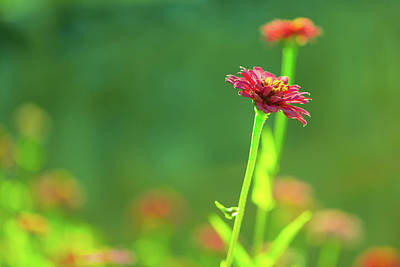 Photograph - Isolated Pink Zinnia by SR Green