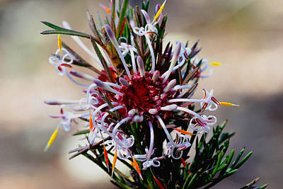 Photograph - Isopogon by Tony Brown