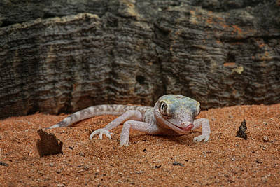 Art Print featuring the photograph Israeli Sand Gecko - 1 by Nikolyn McDonald