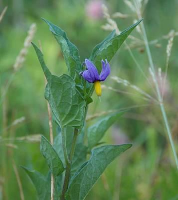 Solanum Dulcamara Photograph - Beautiful Poison - Deadly Nightshade Solanum Dulcamara by Trinket's  Legacy