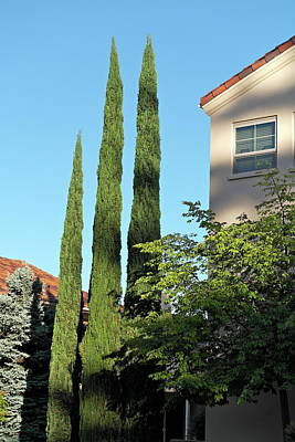 Photograph - Italian Cypress Trio by Michele Myers
