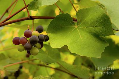 Photograph - Italian Grapevine by Loriannah Hespe