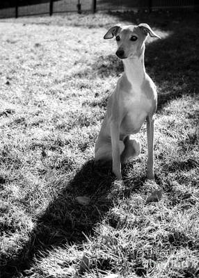 Photograph - Italian Greyhound And Shadow In Black And White by Angela Rath