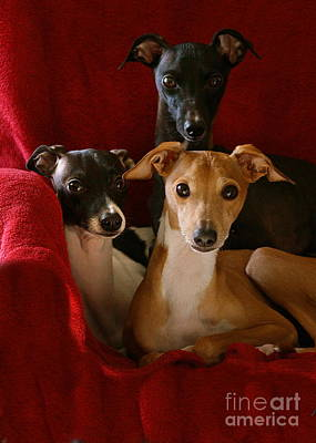 Rescued Greyhound Photograph - Italian Greyhound Brothers by Angela Rath