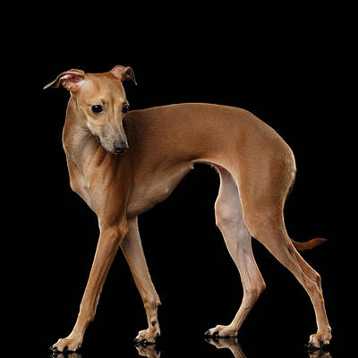 Italian Greyhound Dog Standing  Isolated Art Print