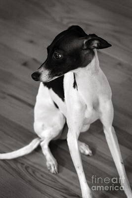 Rescued Greyhound Photograph - Italian Greyhound In Black And White by Angela Rath