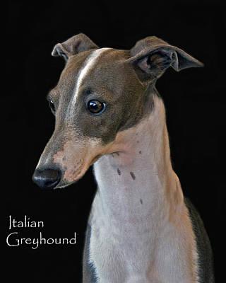 Italian Greyhound Art Print by Larry Linton