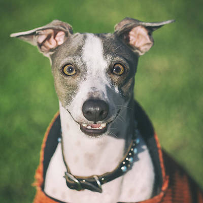 Greyhound Photograph - Italian Greyhound Portrait by Wolf Shadow  Photography