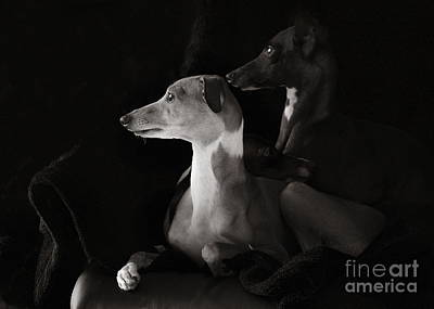 Photograph - Italian Greyhound Profiles In Black And White by Angela Rath