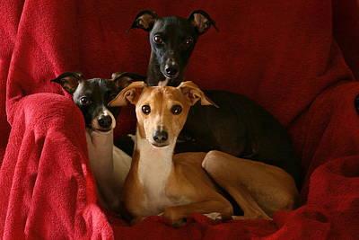 Photograph - Italian Greyhound Trio 2 by Angela Rath