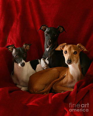 Rescued Greyhound Photograph - Italian Greyhound Trio 3 by Angela Rath