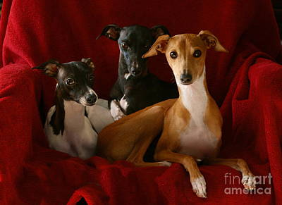 Rescued Greyhound Photograph - Italian Greyhound Trio 4 by Angela Rath