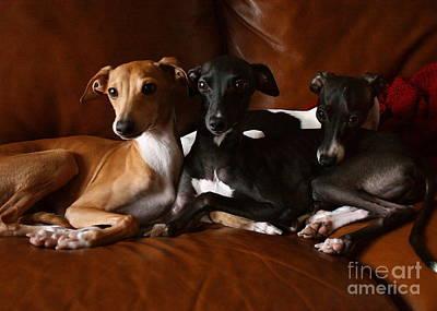 Photograph - Italian Greyhound Trio by Angela Rath