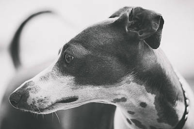 Greyhound Photograph - Italian Greyhound by Wolf Shadow  Photography