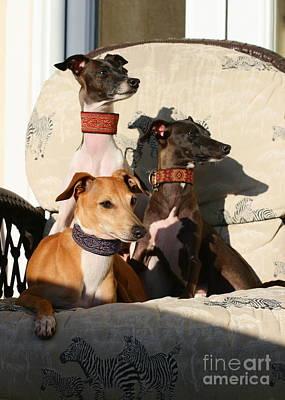 Photograph - Italian Greyhounds by Angela Rath