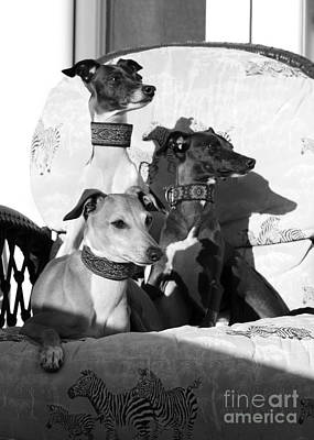 Photograph - Italian Greyhounds In Black And White by Angela Rath
