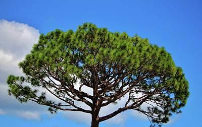 Photograph - Italian Stone Pine  by Cynthia Guinn