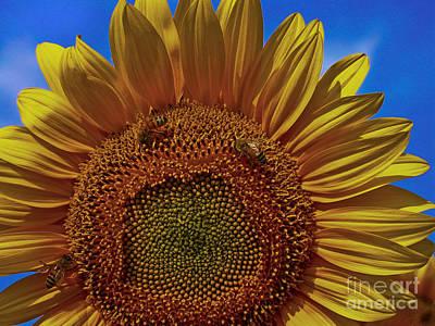 Italian Sunflower With Bees Original by Jon Cretarolo