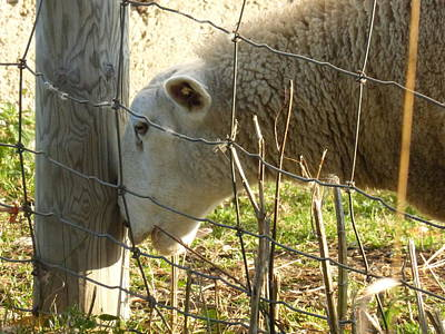 Farmanimals Photograph - Itchy Nose by Tina M Wenger
