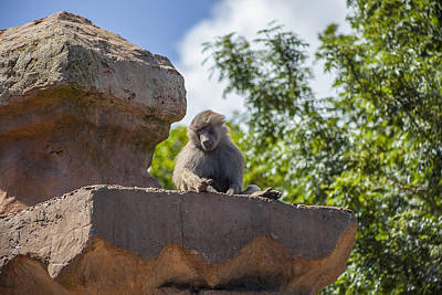 Photograph - Its A Baboons Life by Stewart Scott