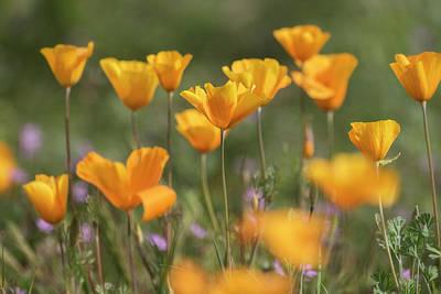 Photograph - It's A Poppy Thing  by Saija Lehtonen