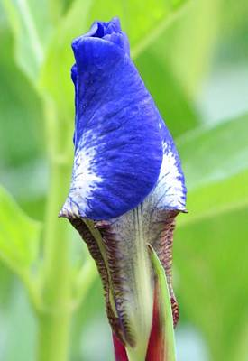 Photograph - It's A Wrap - Iris Bud by MTBobbins Photography