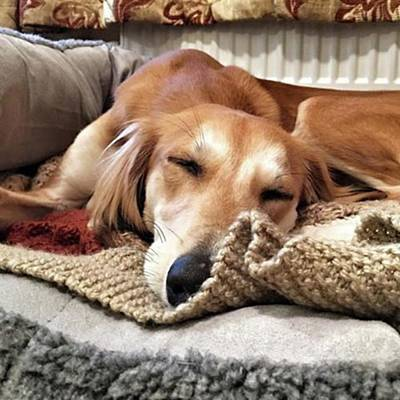 Wall Art - Photograph - It's Been A Hard Day...  #saluki by John Edwards