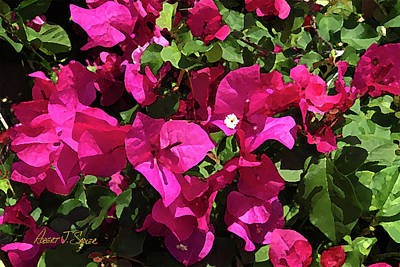 Photograph - It's Bougainvillea Time by Robert J Sadler