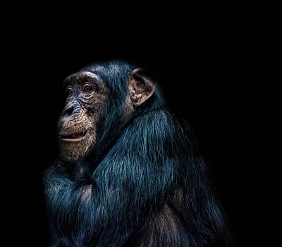 Chimpanzee Wall Art - Photograph - Its Cold by Martin Newman