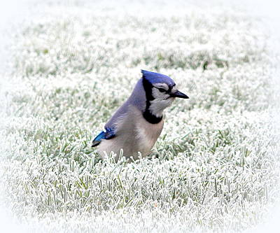 Bluejay Photograph - It's Here Somewhere by Karen Cook