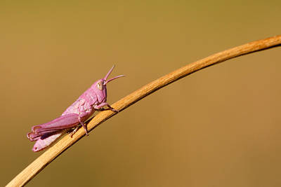 Grasshopper Photograph - It's Not Easy Being Pink by Roeselien Raimond