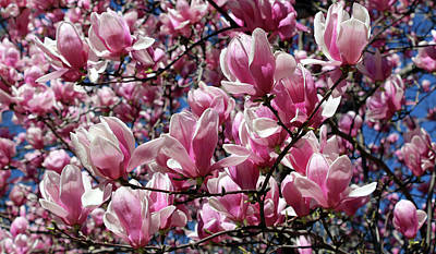 Photograph - It's Time For Magnolias by Cora Wandel