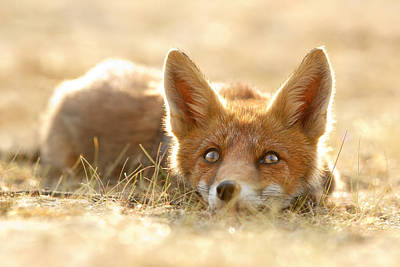 Little Fox Dreaming Of A Foxy Future Print by Roeselien Raimond