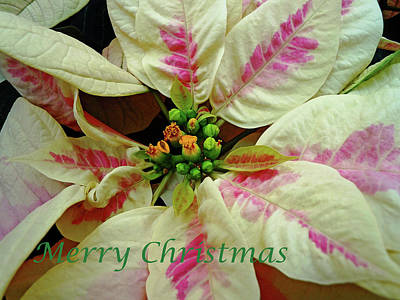 Photograph - Ivory And Pink Pointsettia - Merry Christmas by Debbie Oppermann