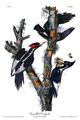 Keith Richards - Ivory Billed Woodpecker Audubon Birds of America 1st Edition 1840 Octavo Plate 256 by Orchard Arts